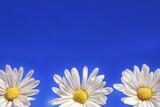Fototapeta uroda - niebieski - Kwiat