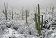 snow on saguaros - 2279347