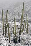 snow on saguaros