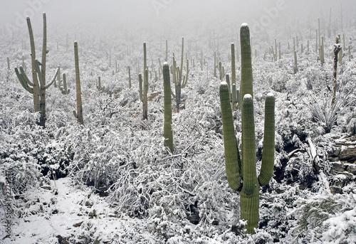 Leinwandbild Motiv snow on saguaros