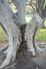 trunk of morten bay fig tree