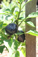 black capsicum