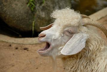 mouton bélant