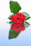 red rose on mirror poster