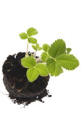 baby plant - strawberry