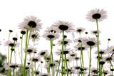 daisies on white - Fine Art prints