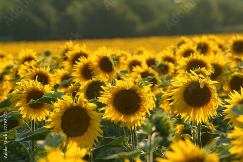 canvas print picture tournesols