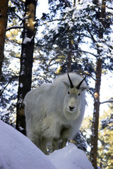 mountain goat on the snowy rock