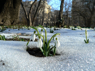 snowdrops rising from the snow