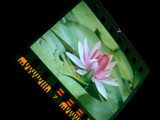 slide of water-lily