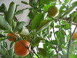 small orange tree