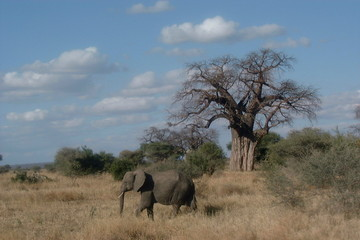 elephant looking for his herd