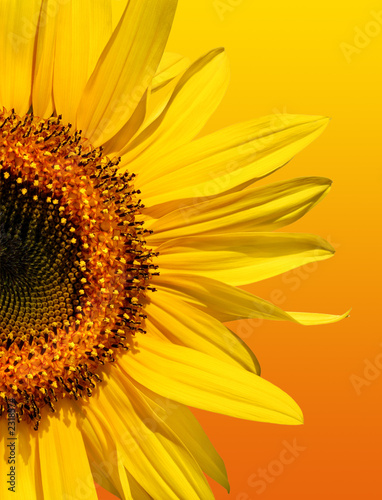 golden sunflower beauty