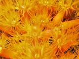 orange cup corals poster