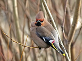 guzzled thick  waxwing. poster