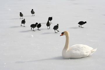 Schwan mit schwarzen Vögeln auf Eis