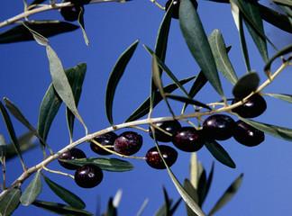 sardegna: olive da olio