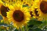 pole kvetoucí slunečnic