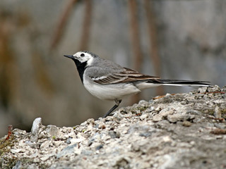 restless wagtail.