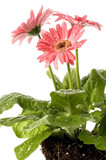 closeup of pink daisy with water droplets and root poster