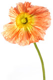 exotic flower poppy poster