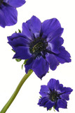 exotic flower blue poppy poster