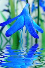 blå blomma reflektion i vatten