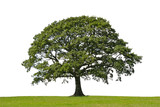 oak tree, symbol of strength