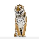 Fototapety tigre ses pattes avant