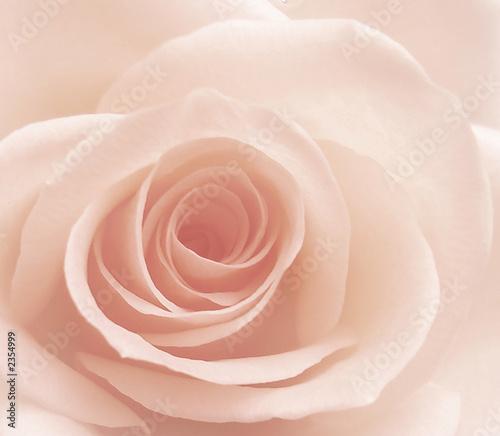 Fototapeta róża