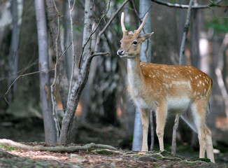 brown fallow deer in forest