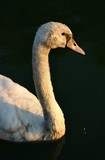 cygnet looking towards the sun poster