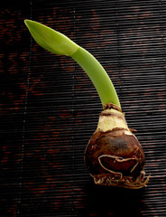 amaryllis bulb and sprout