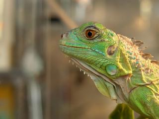 urban iguana, side view