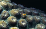 blenny on coral poster