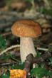 champignon 13
