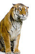 tigre assis