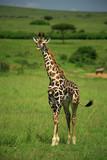 strolling giraffe poster