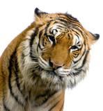Fototapeta tygrys - tygrysica - Dziki Ssak