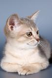 kitten of abyssinian breed in studio poster