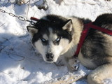 husky dog with blue eyes - dogsledding - quebec