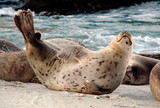 happy harbor seal poster