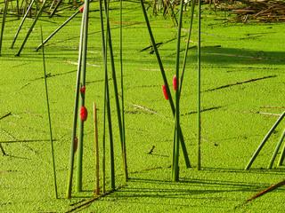 pantano verde