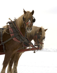 harnessed horses