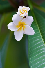 frangipani tropical flower