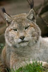 sleepy lynx vertikal