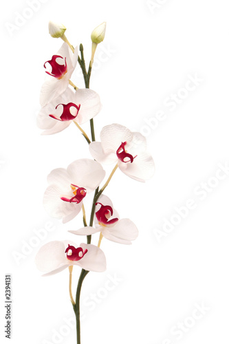 Foto op Aluminium Orchidee white orchid isolated on white background