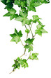 roleta: green ivy