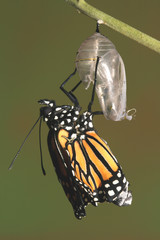 monarch emerging from its chrysalis