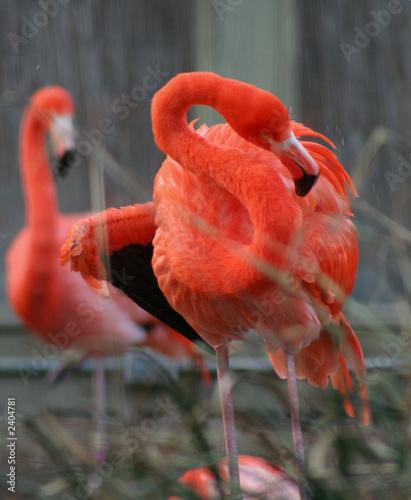 Foto op Aluminium Flamingo flamands roses